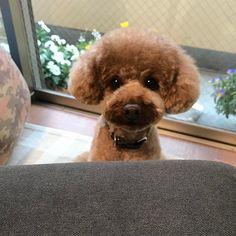 おはよぅ٩(ˊロˋ*)و💓 ✳︎ お目々キラキラ お散歩待ち♬♪💕 ✳︎ 今日はお兄帰っちゃうよ😅 たくさんくっつき虫して 遊んでもらおうねっ😆😆 #cuncable#puddlelove#_international_animals_#todayswanko#all_dog_japan#doglover#instapoodle#redpoodle#貴婦狗#わんこ#愛犬#トイプードル#dogsofistagram#豆助#まめすけ#idog#ilovemydog#caniche#pawsomepoodles#ig_dogphoto #superdog_world#total_dogs#poodles_petsagram#poodlelove#ペピ友