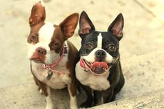 Delilah and Apple the Boston Terriers - http://www.bterrier.com/delilah-and-apple-the-boston-terriers/ https://www.facebook.com/bterrierdogs