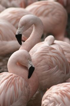 Different shade if pink to other flamingos, like how their beaks stand out and the different texture to their feathers