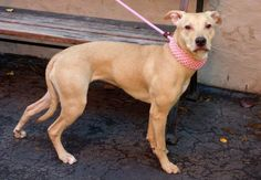 SAFE --- URGENT - Manhattan Center   CHYNA - A0986754   FEMALE, TAN, LABRADOR RETR / PIT BULL, 8 mos  OWNER SUR - EVALUATE, NO HOLD Reason ALLERGIES  Intake condition NONE Intake Date 12/06/2013, From NY 10452, DueOut Date 12/09/2013 Original thread:  https://www.facebook.com/photo.php?fbid=721367147876167&set=a.617938651552351.1073741868.152876678058553&type=3&permPage=1