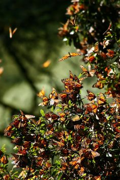Monarch butterflies nosh on nectar in the northern States and Canada...