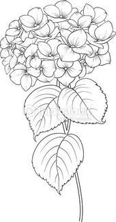 Blooming flower hydrangea on white background. Flower Line Drawings, Flower Sketches, Art Drawings Sketches, Tattoo Sketches, Tattoo Drawings, Fabric Painting, Painting & Drawing, Painting Tattoo, Watercolor Flowers