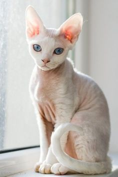 Top 5 of the Most Affectionate Cat Breeds Sphynx Pretty Cats, Beautiful Cats, Animals Beautiful, Pretty Kitty, Kittens Cutest, Cute Cats, Funny Cats, Baby Animals, Cute Animals