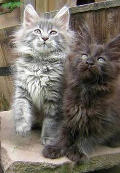 Simese Kitten, Cat Lover Gift Ideas, - Cat Food How Much To Feed, Ziwipeak Cat Treats.