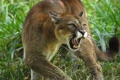 Puma, onça-parda, onça-vermelha, sussuarana, leão-da-montanha ou - na serra catarinense - leão-baio.