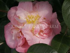 'Berenice Beauty' Camellia japonica. Pale pink peony flowers. Kinsey Family Farm Gainesville, GA.