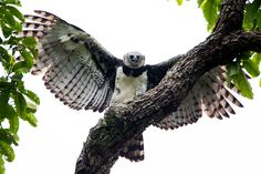 Harpy eagle (Harpia harpyja) por Marco Guedes