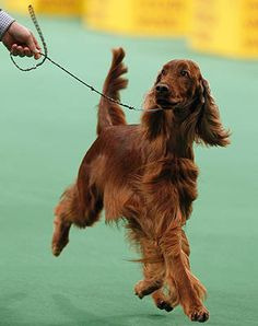 Westminster Dog Show, Sporting Group - Irish Setter, Caught Red Handed, went home with a Best in Group prize in her paws. Weimaraner, Best Dog Breeds, Best Dogs, I Love Dogs, Cute Dogs, Schnauzer, Westminster Dog Show, Irish Setter Dogs, Gordon Setter