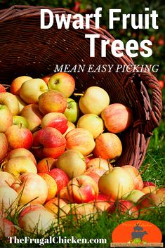 Dwarf trees are perfect if you want fruit, but don't want a difficult harvest and planting some means fresh fruit right from your own backyard.