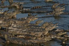 Caimans in the Pantanal, Brazil. by Eric Doggett