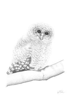 Zeichnung junge Eule. Bleistift, Graphit, Din A4.