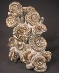 Yorkshire coast ammonites. Approximately 203 million years old.