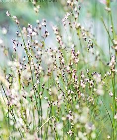 Rannalla kukkivat heinät - suolavihvilä Juncus gerardii Vihviläkasvit kukka kukkiva rantakasvi  kasvi kasvit kukassa pienet valkoiset kukat hyönteinen Suolavihvilä Juncus gerardii Vihviläkasvit