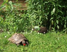 Des nouvelles des doudous: Ursule, le Doudou Tortue rencontre son alter ego  #plush #tortoise