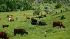 [ Close View Of A Herd Of Cows Grazing. Nature Farm Landscape With Green Grass, Beautiful Flowers And Blue Clouds. Blue Clouds, Green Nature, Green Grass, Cows, Ecology, Cattle, Stock Footage, Landscape Paintings, Beautiful Flowers