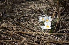 We uncovered a new crocus variety on the High Line last March. Stop by the park between West 28th and West 30th Streets to see Crocus chrysanthus 'Ard Schenk,' a snow-white bloom with yellow stamen. Photo by Mike Tschappat