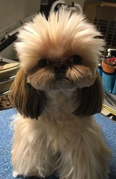 Shih Tzu Muffy - I thought bad hair days only happened on a Monday, not on a Tuesday!!!