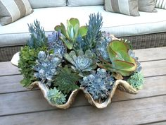 Succulents in shell. Succulents in shell. Succulents In Containers, Cacti And Succulents, Planting Succulents, Planting Flowers, Container Flowers, Container Plants, Container Gardening, Air Plants, Garden Plants