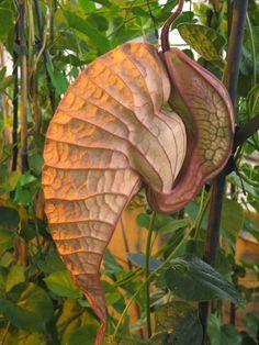 Aristolochia grandiflora, aka 'Snail Flower Vine.' Like & Repin. Noelito Flow. Noel songs. follow my links http://www.instagram.com/noelitoflow