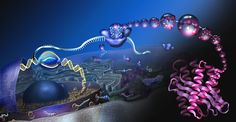 Beautifully illustrated depiction of the central dogma of molecular biology    A look into a eukaryote cell to see how proteins are made. DNA in the nucleus is 'read' by RNA polymerase, then ribosomes in the cytoplasm produce an amino acid strand that folds into a functional protein. Digitally painted for theNational Science Foundation.  Nicole Rager Fuller