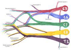 brachial plexus - Google Search