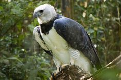 Eurasian Eagle Owl, Harpy Eagle, Brown Eagle, Black Eagle, Aigle Harpie, Harpy Bird, Eagle Images, Street Fighter Characters, Rainforest Animals
