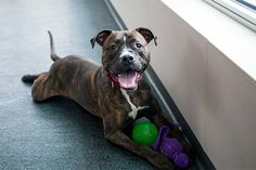 Spike is October's first Pet of the Week! He's a super sweet and energetic brindle pitt mix looking for his forever home. Learn more about Spike on his adoption page: www.aspca.org/nyc/adoptable-dogs/spike-a14021641 #pitbull