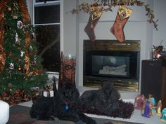 First Christmas on Vancouver Island with our two black standard poodles, Jessie and Shelby. Black Standard Poodle, Standard Poodles, Vancouver Island, First Christmas, Jessie, Home Decor, Decoration Home, Room Decor, Home Interior Design