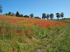Fields of Red, Roslin Glen, Scotland
