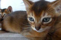 Gatos abisinios http://venta-mascotas.vivastreet.com.mx/comprar-mascota+xalapa/gatos-abisinios/48569774