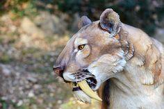 Animais Extintos Modelo Artificial de Tigre-dente-de-Sabre