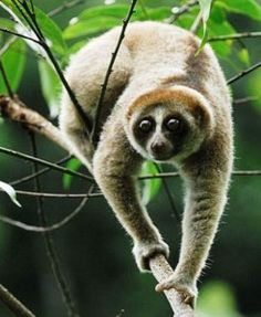 Newly Discovered Slow Loris Species Already Threatened