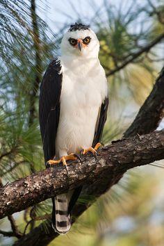 Black and White Hawk Eagle (Spizaetus melanoleucus) by Yeray Seminario, via lightasfeathers.net