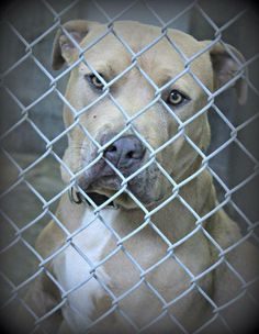 06/24/14 **URGENT ODESSA**Staffordshire Terrier male 2-3years old  Kennel A7 Available NOW ****$51 to adopt  Located at Odessa, Texas Animal Control. 432-368-3527
