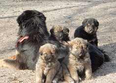 Bankhar Dogs protect Mongolian Nomads' herds from predators like Snow Leopards and Wolves, helping to preserve both the livestock and the endangered species.   #Bankhar #EndangeredSpeciesProtection