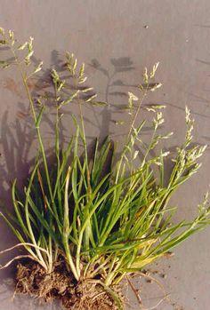 Poa annua L. - Etårigt rapgræs Poaceae (Grass Family) Europe Annual Bluegrass Wintergreen