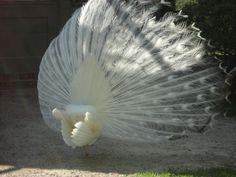 Hand Fan, Peacock, Berlin, Corner, Home Appliances, Romantic, Island, House Appliances, Peacocks