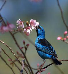 Saí-azul (Dacnis cayana) por Dario Sanches   Wiki Aves - A Enciclopédia das Aves do Brasil
