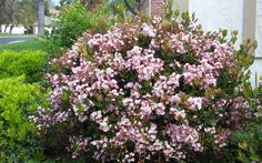"""""""Eleanor Tabor"""" Indian Hawthorne--in our backyard by the stairs up against the lattice"""