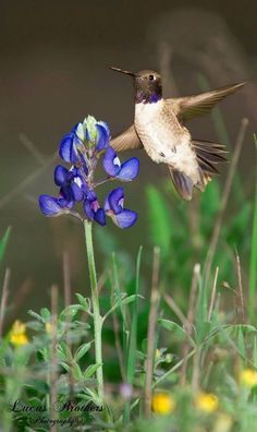 Still shot of Hummingbird and a Bluebonnet in the spring at a ranch in North Central Texas. Pretty Birds, Love Birds, Beautiful Birds, Beautiful Things, Especie Animal, Texas Bluebonnets, Kinds Of Birds, All Gods Creatures, Blue Bonnets