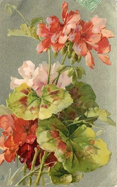 Red and pink geraniums by Catherine Klein ~ 1903.