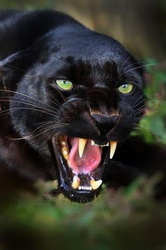 """Gorgeous black panther. Wow. In the words of Ogden Nash: """"If a panther calls, don't anther."""""""