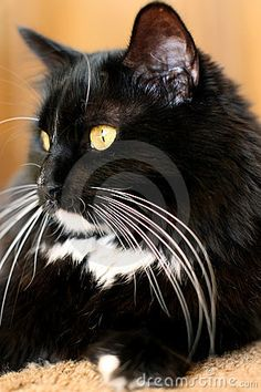 Black and white cat by Stephanie  Swartz, via Dreamstime