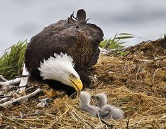 Bald Eagle & Babies -Katmai, Alaska  photo credit: John Hunter