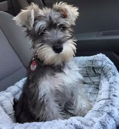 Image result for schnauzers