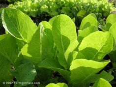 In My Kitchen Garden: How To Grow Your Own Gourmet Lettuce From Seed - It's Easier Than You Think!