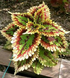 نبتة الكوليوس او السجاد