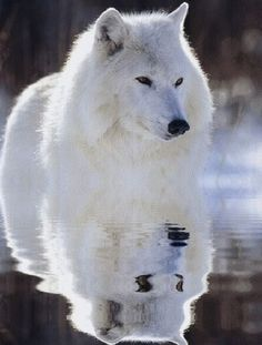 Stop with killing wolves! They are the most beautiful creatures on earth. Why killing these creatures? Wolf Spirit, Spirit Animal, Wolf Pictures, Animal Pictures, Beautiful Creatures, Animals Beautiful, Tier Wolf, Animals And Pets, Cute Animals
