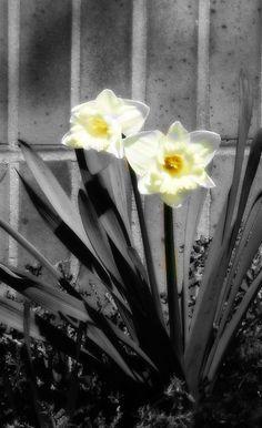 b/w daffodils