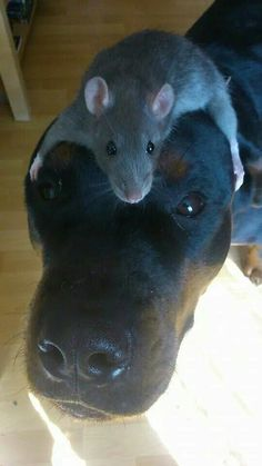 Cute! First time I've seen a dog & a rat together!!!
